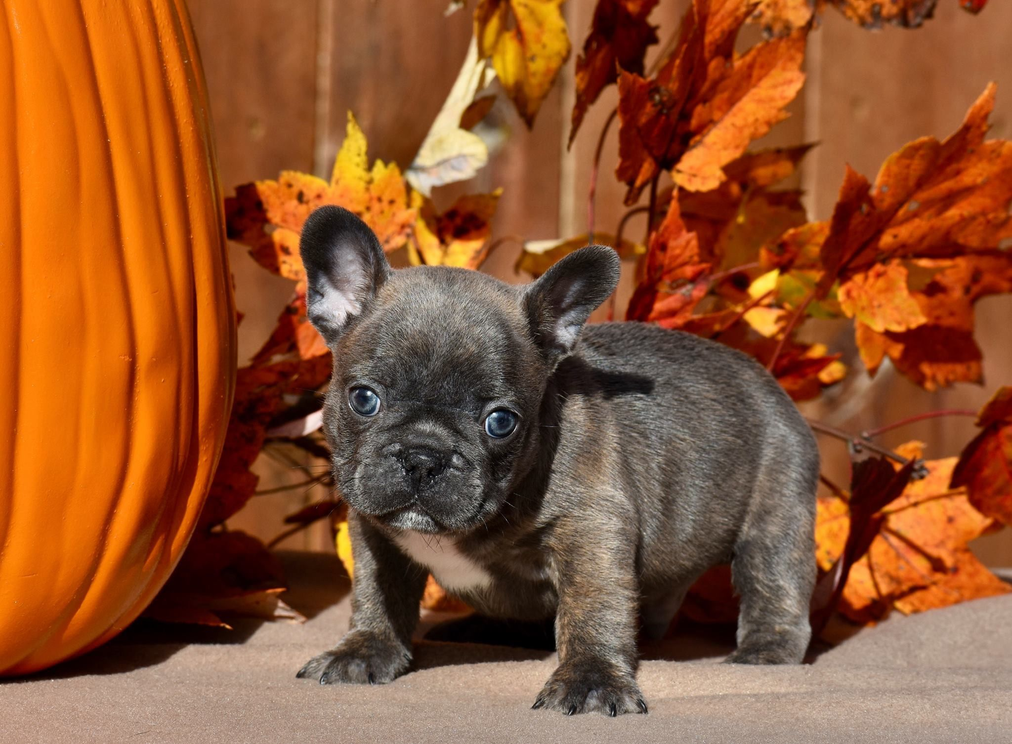 French Bulldog Puppy French Bulldog French Bulldog Puppy Black