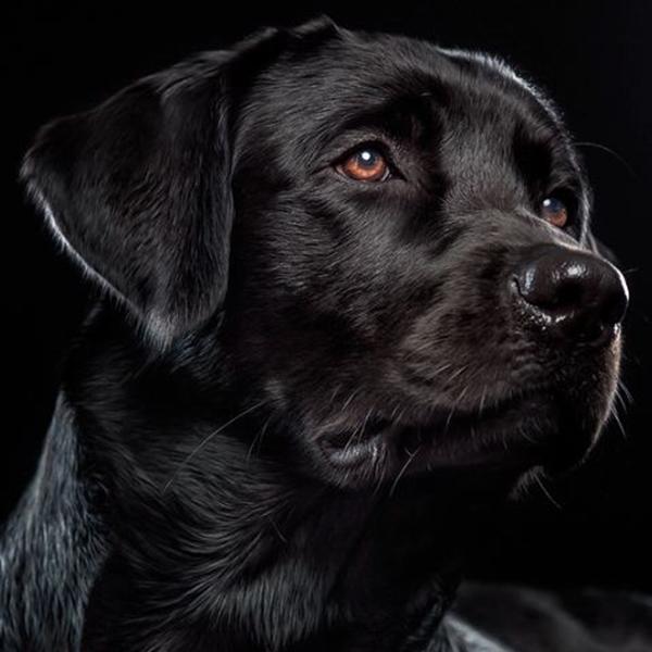 Most Inspiring Lab Black Adorable Dog - f37839ff06b2d5e266b760e3af7c771c  Snapshot_191762  .png