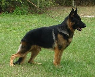 European German Shepherd Vs American Big German Shepherd German