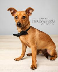 Adopt Ellsworth On Chihuahua Dogs Pets Chihuahua