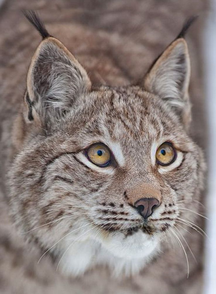 Canada Lynx Ear tufts, white chin whiskers and