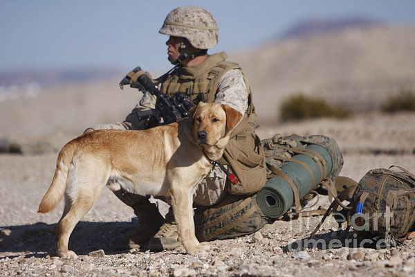 A Yellow Labrador Retriever Labrador retriever, Military