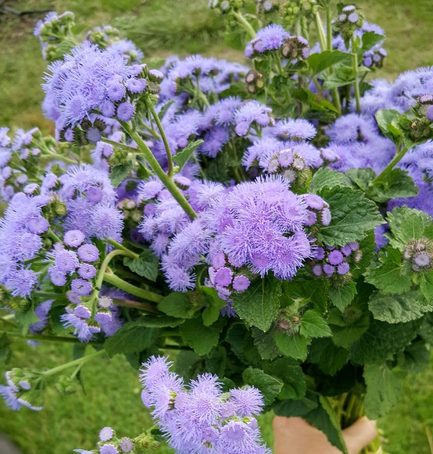 Blue Ageratum Is A Soft Beautiful Blue Floss Flower That Adds A Soft Pop Of Color And Texture To A Bouquet Grown By Bare October Flowers Flowers Real Flowers