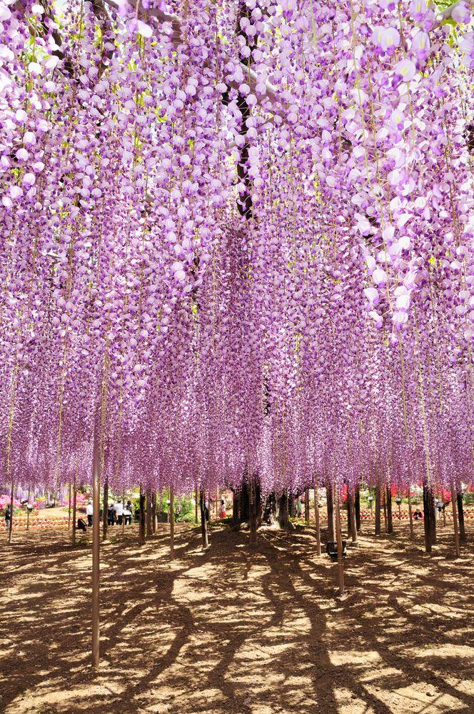 Shutterstock 281816909 Jpg 664 1000 Wisteria Japan Travel Asia Travel