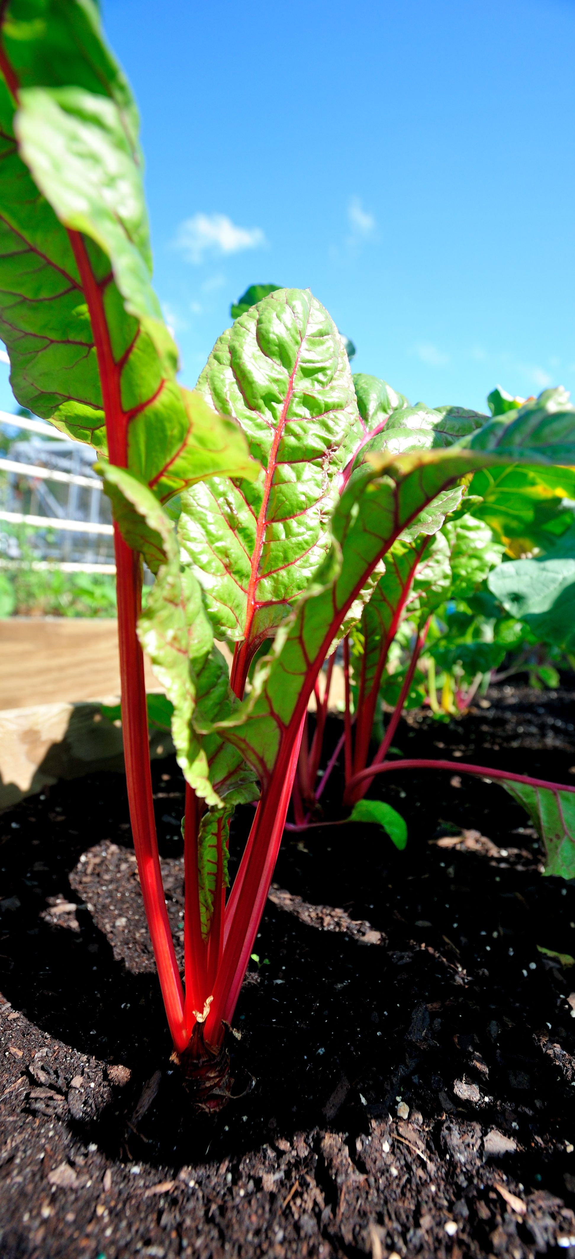 Swiss Chard In Our South Florida Vegetable Garden.