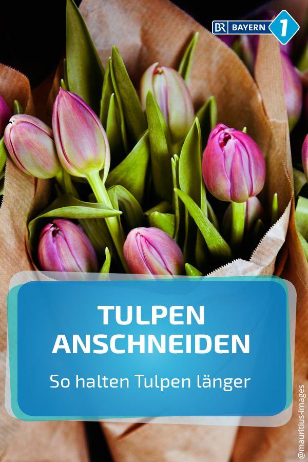 tulpen wie anschneiden  halten tulpen laenger