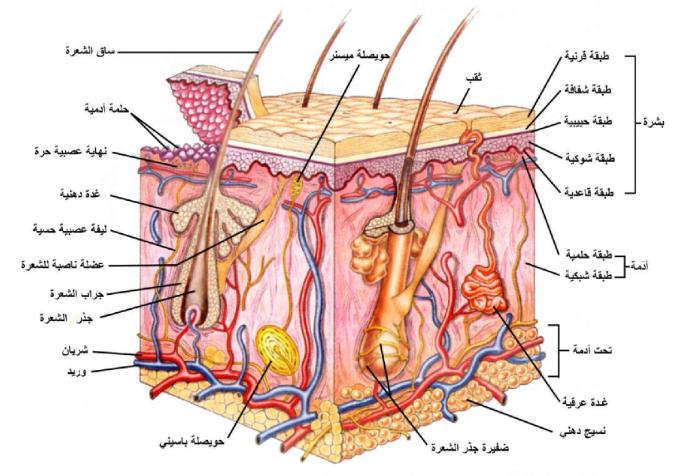 Pin By Chemistry On الحيوية In 2021 Integumentary System Skin