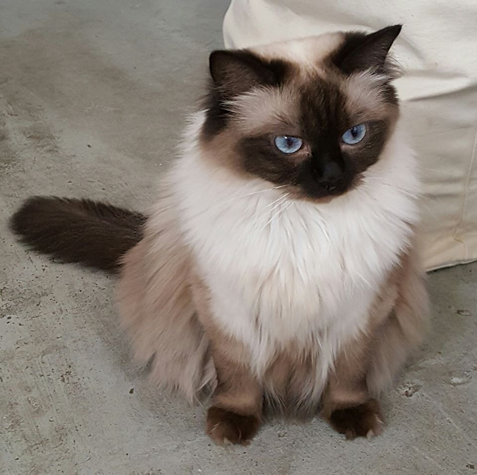 Rag Doll Cat Seal Point Seal Point Rag Doll Ragdoll Cat Cats Cat Entertainment
