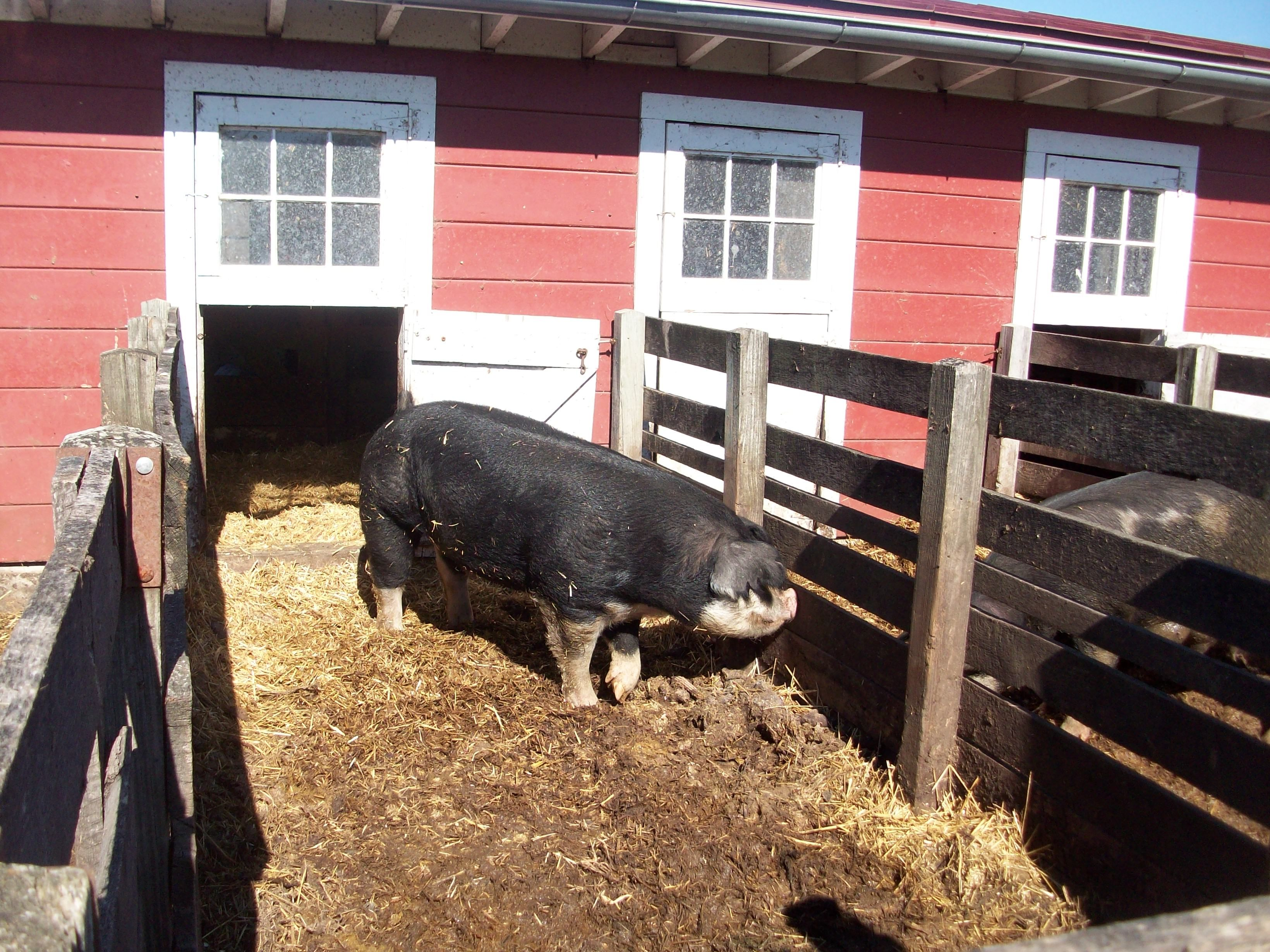 how to make a wooden farrowing crate google search pig