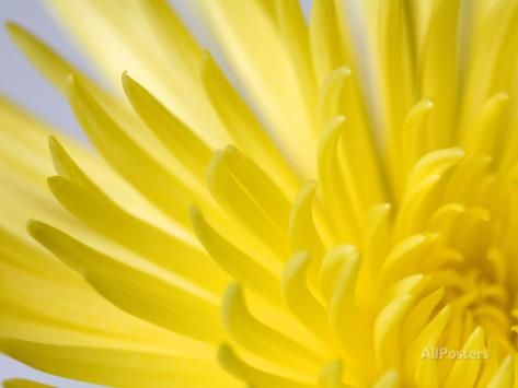 Close Up of the Petals of a Yellow Chrysanthemum Flower Photographic Print by Vickie Lewis at AllPosters.com