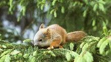 Orava on taitava kiipeilijä