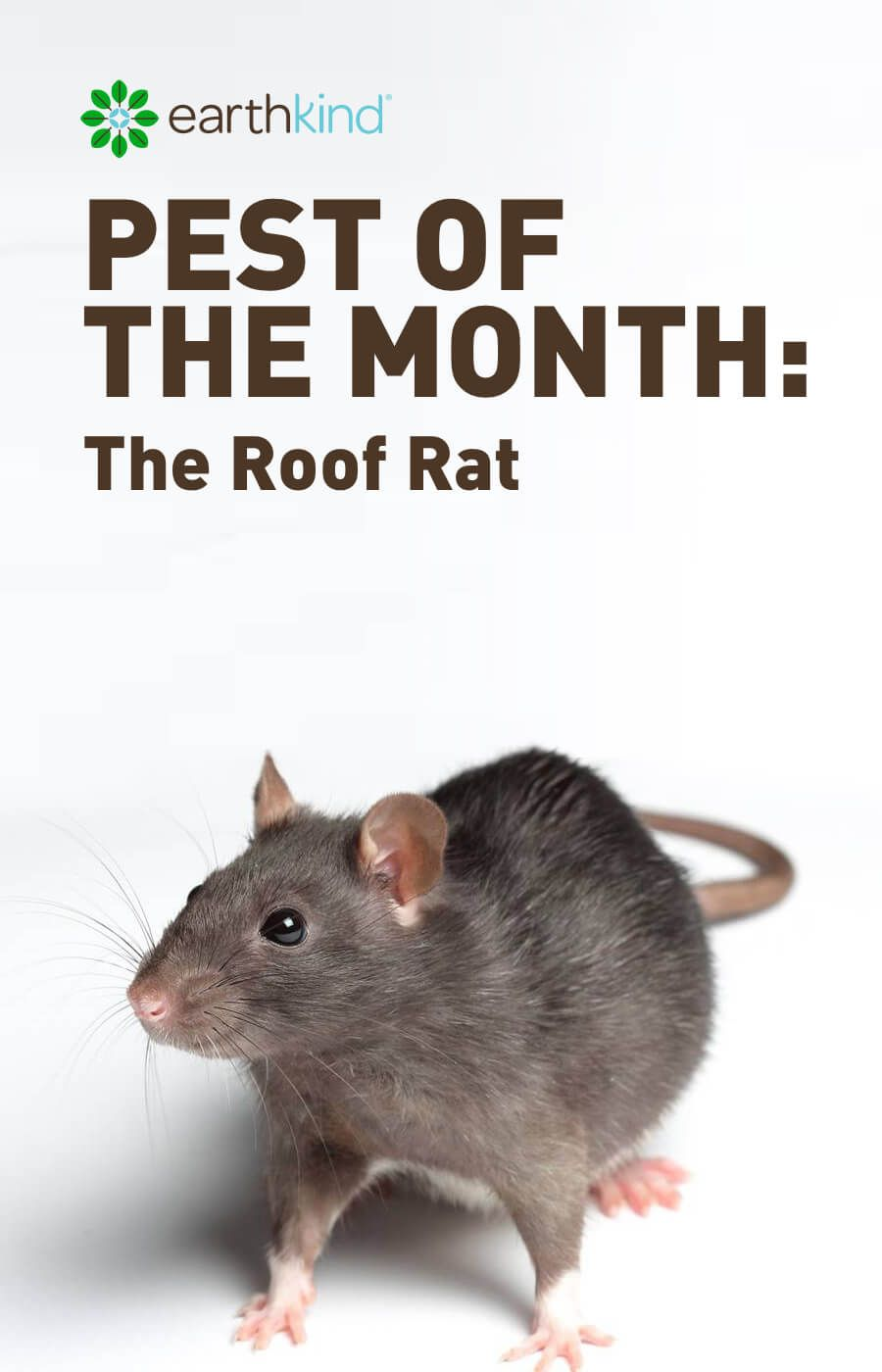 Pest Of The Month The Roof Rat Roof Rats Pests Getting Rid Of Rats