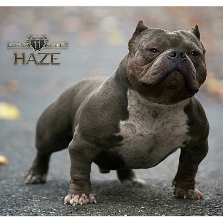 Haze Owned By Interstatebullies Hazeline Bully Breeds Dogs