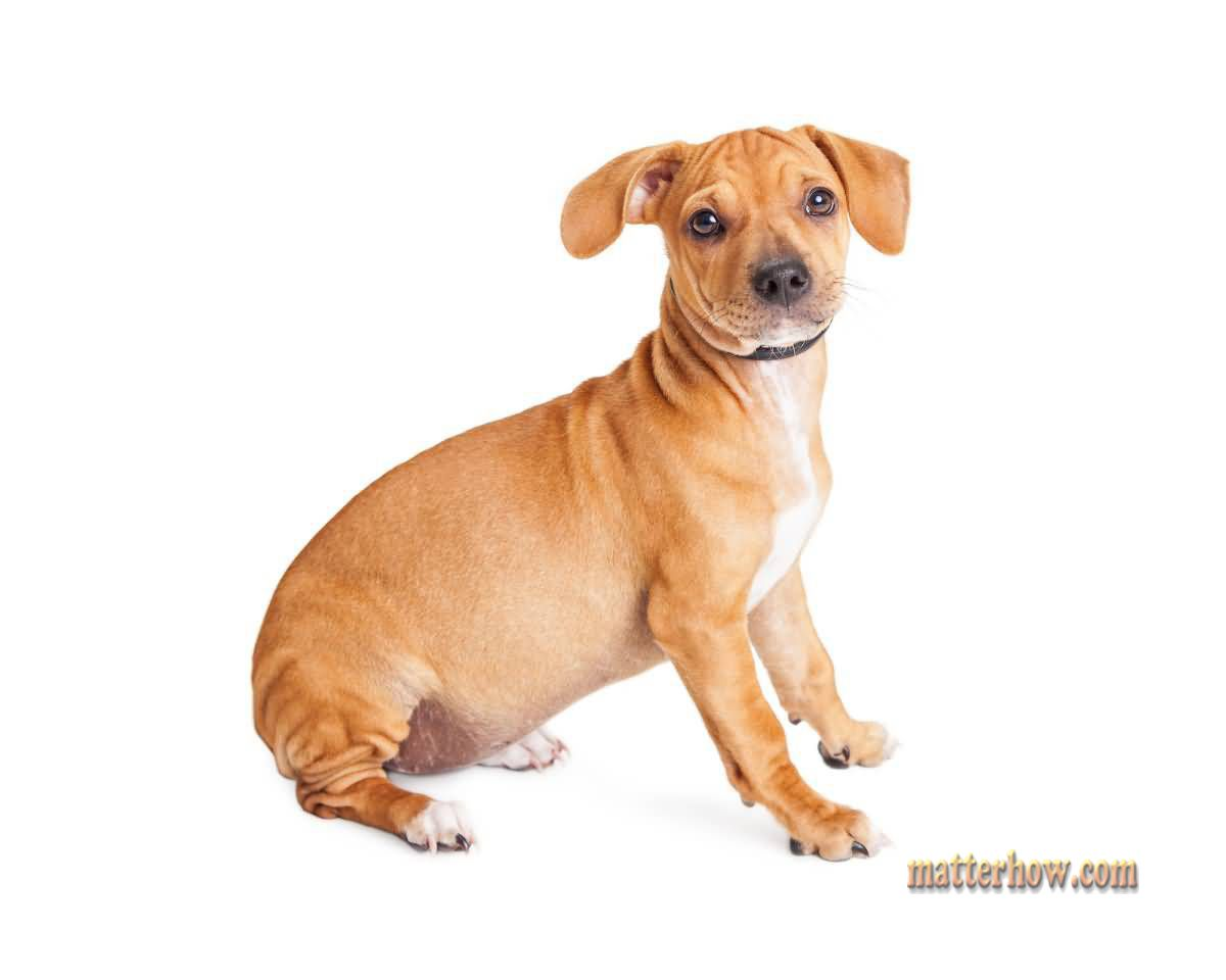 Chiweenie 10 Things You Should Know About This Cute Little Crossbreed Chiweenie Dogs Chiweenie Chiweenie Puppies