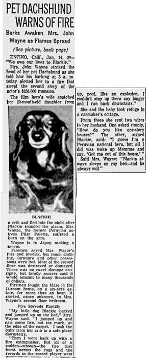 Blackie the dachshund saved John Wayne's family from a house fire in 1958, while Mr. Wayne was out of the country filming a movie. Blackie alerted Mrs. Wayne at about 3 AM, enabling her and the couple's infant daughter to escape.
