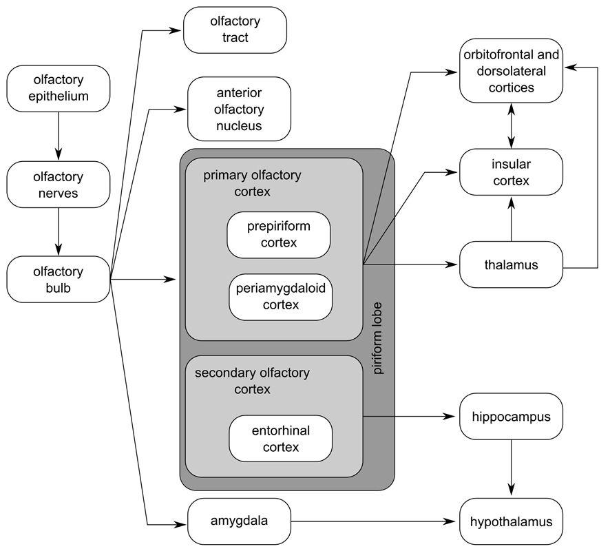 Olfactory pathways Sensation & Perception Pinterest