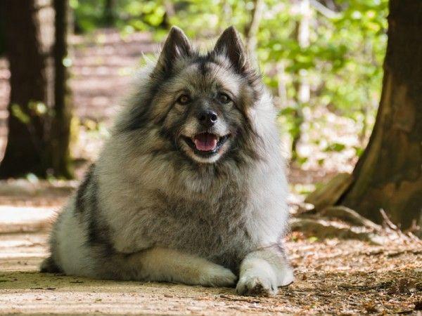 Wolfsspitz Kaufen Charakter Der Flauschigen Hunderasse