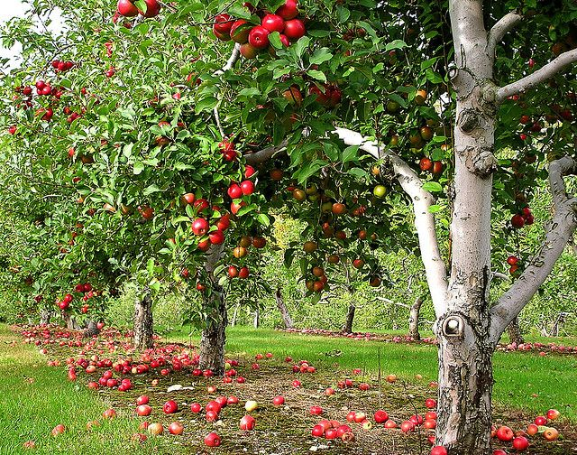 Orchard Row Apple Garden Food Forest Fruit Trees