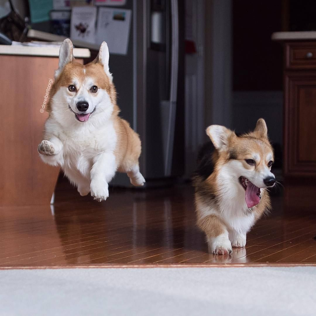 Show Off Dog Friends Corgi Dogs And Puppies