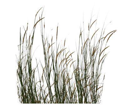 Tall grass google s k cutouts pinterest grasses for Wild ornamental grasses