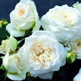 rosier 39 blanche de castille 39 rosier guillot la guerre des roses rosier rosier blanc et. Black Bedroom Furniture Sets. Home Design Ideas