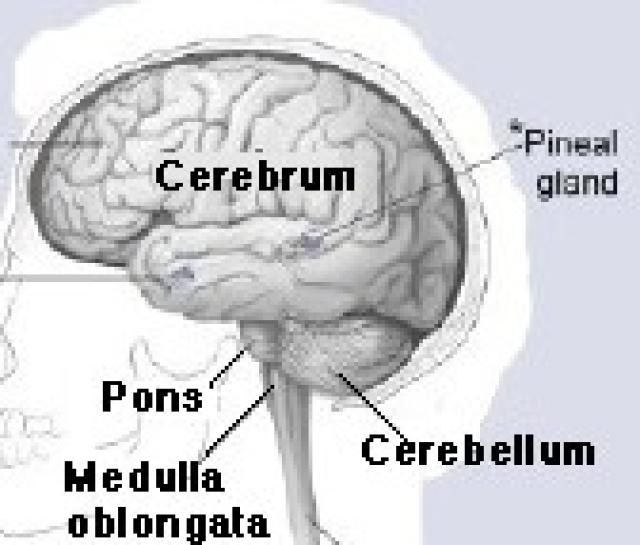 The location and function of the pons brain brain anatomy and you can thank your pons this brain image shows the location of the pons ccuart Gallery