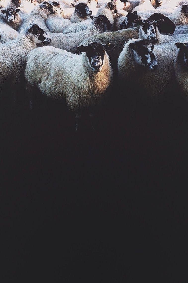 Irish sheep   Benjamin Hole   VSCO