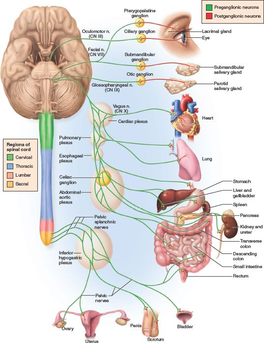 The parasympathetic system is also known as theNervous System Diagram Labeled Quizlet