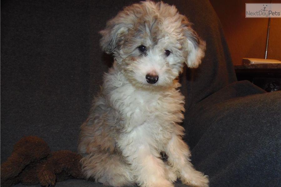Aussiedoodle Puppy For Sale Near Toledo Ohio 6515295d C521 Aussiedoodle Puppy Pictures Puppies For Sale