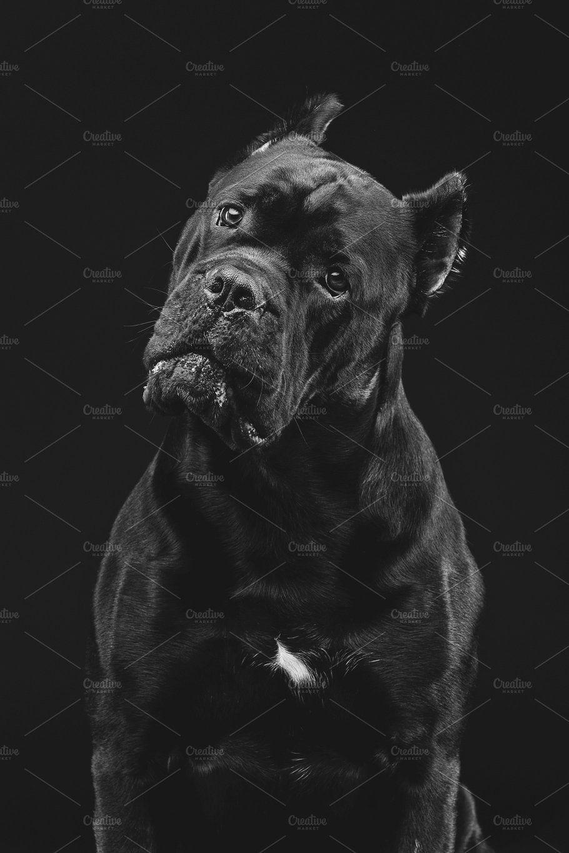 Beautiful Cane Corso Dog Corso Dog Cane Corso Dog Cane Corso