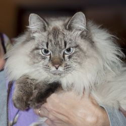 Adopt Mickey Blue Eyes on | Pinning for Pets | Cats, Maine coon cats