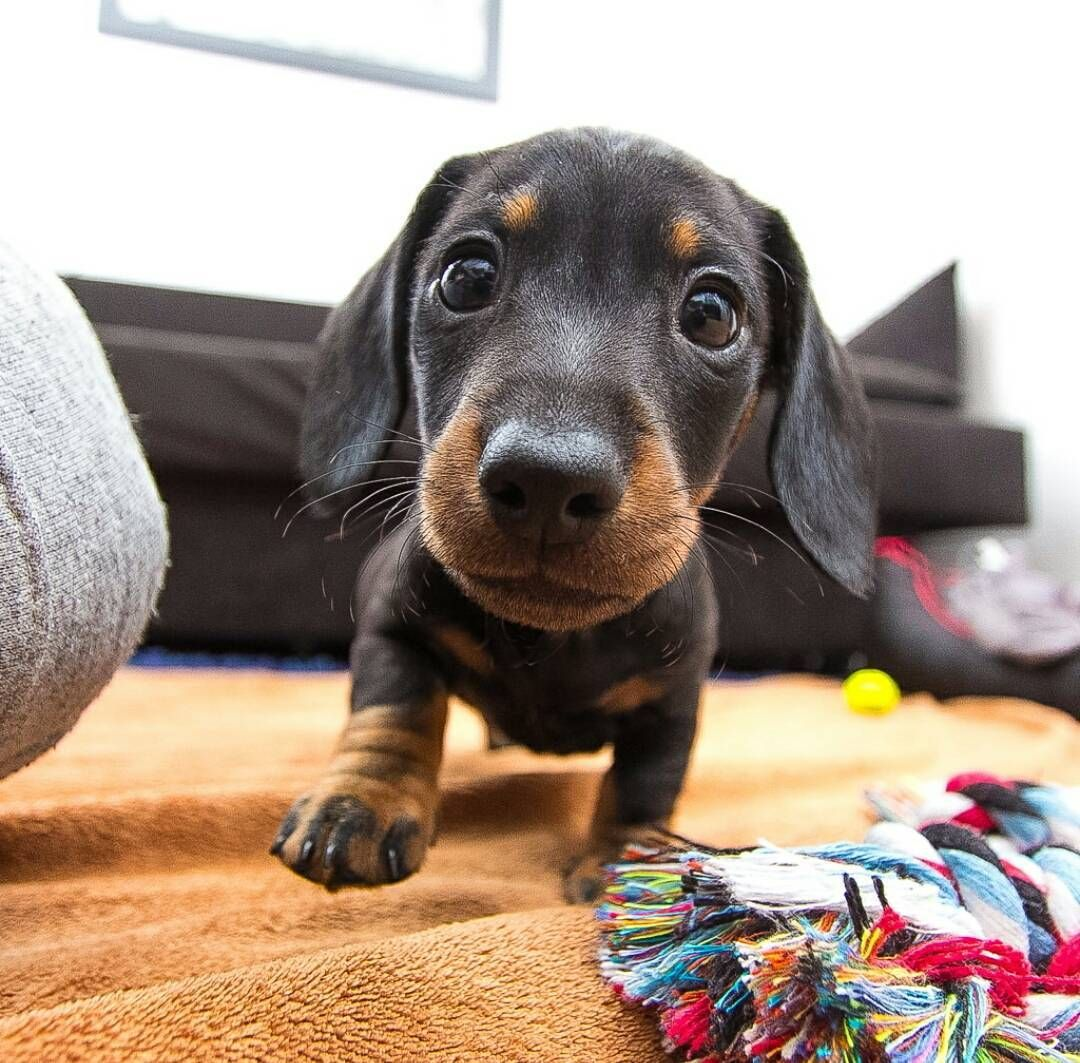 Instagram maceothesausage dogs pinterest dachshunds and dog