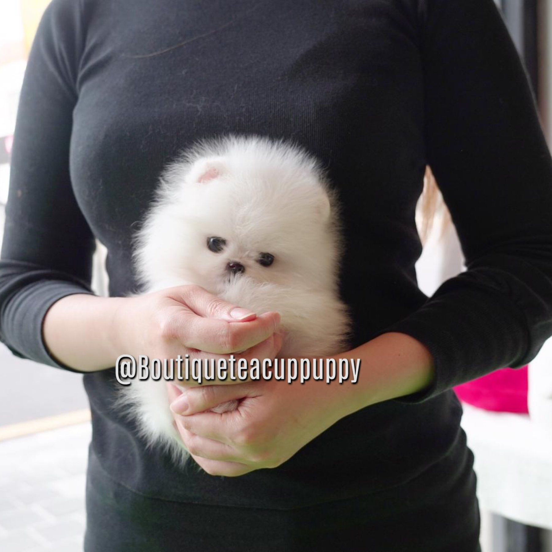 "Lil ""Parker"" <3 - Baby Polar Bear! - Micro White Pomeranian - SOLD #cuteteacuppuppies"