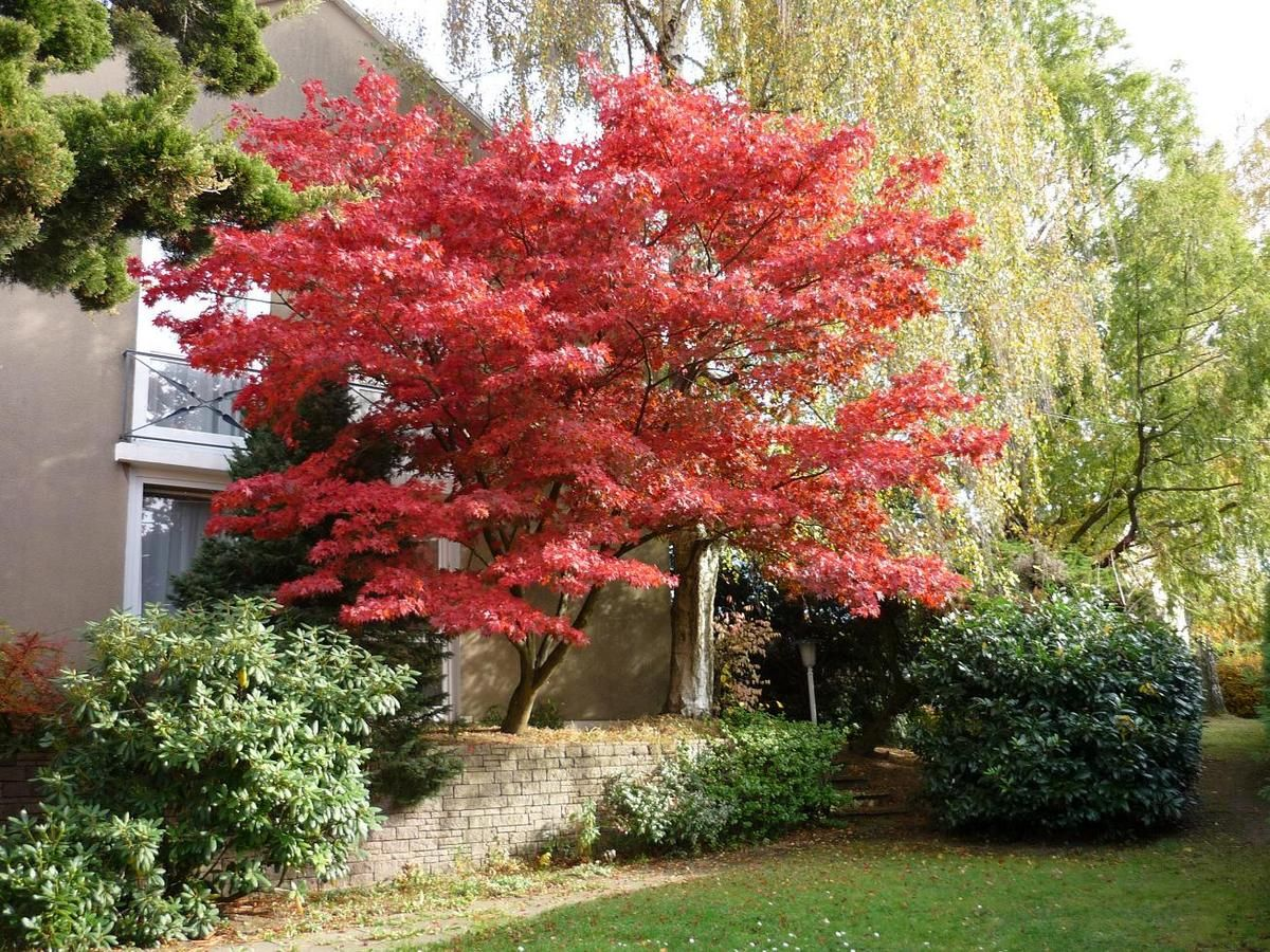acer palmatum 39 bloodgood 39 bloodgood japanese maple shown here in fall small trees for. Black Bedroom Furniture Sets. Home Design Ideas