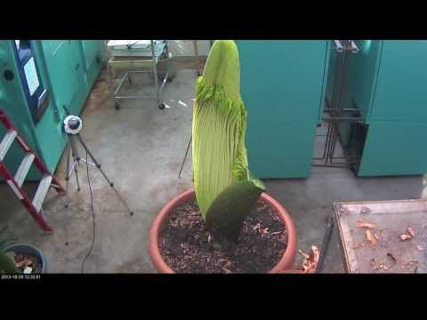 Perry The Corpse Flower Full Bloom Cycle 2013 Youtube Lehrreich