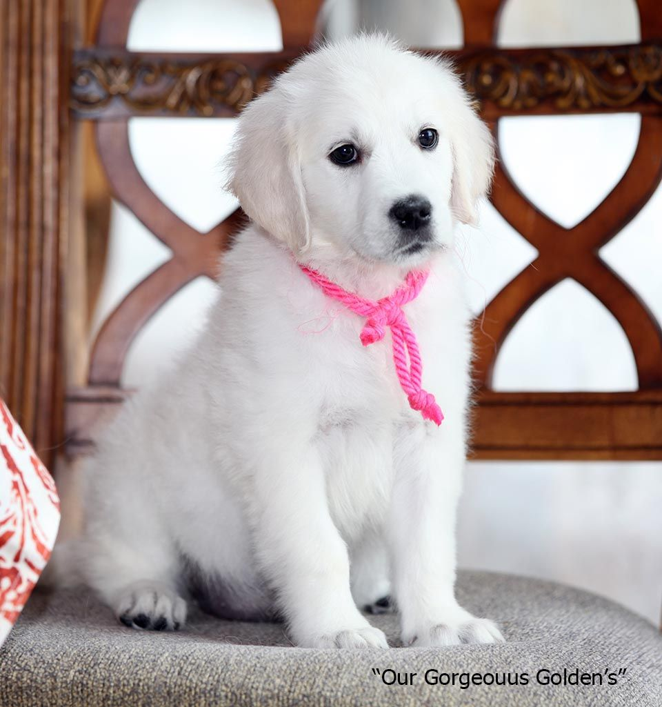 White Golden Retriever Puppies Cream Akc Certified Nj Breeders Md
