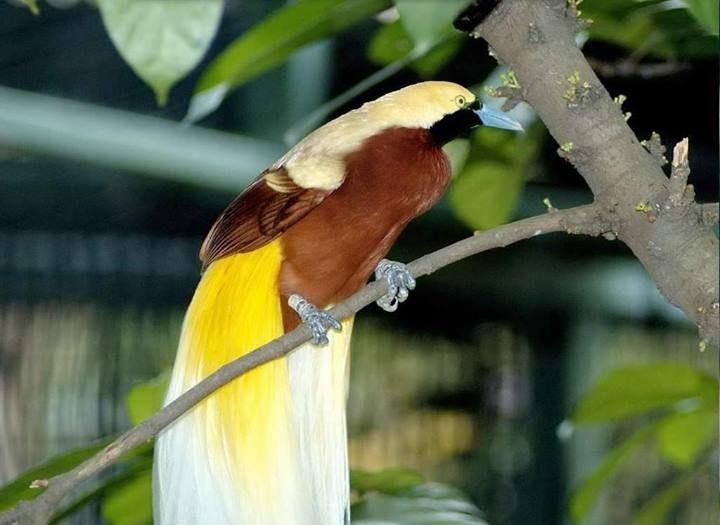 De Larga Cola Birds Of Paradise Bird Birds