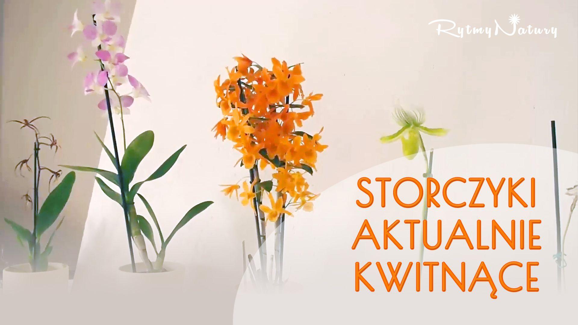Zbliza Sie Zima A Niektore Moje Storczyki Kwitna Co Wiecej Prawie Wszystkie Phalaenopsisy Powypuszczaly Pedy Kwiatowe Ja Home Decor Decals Plants Glass Vase