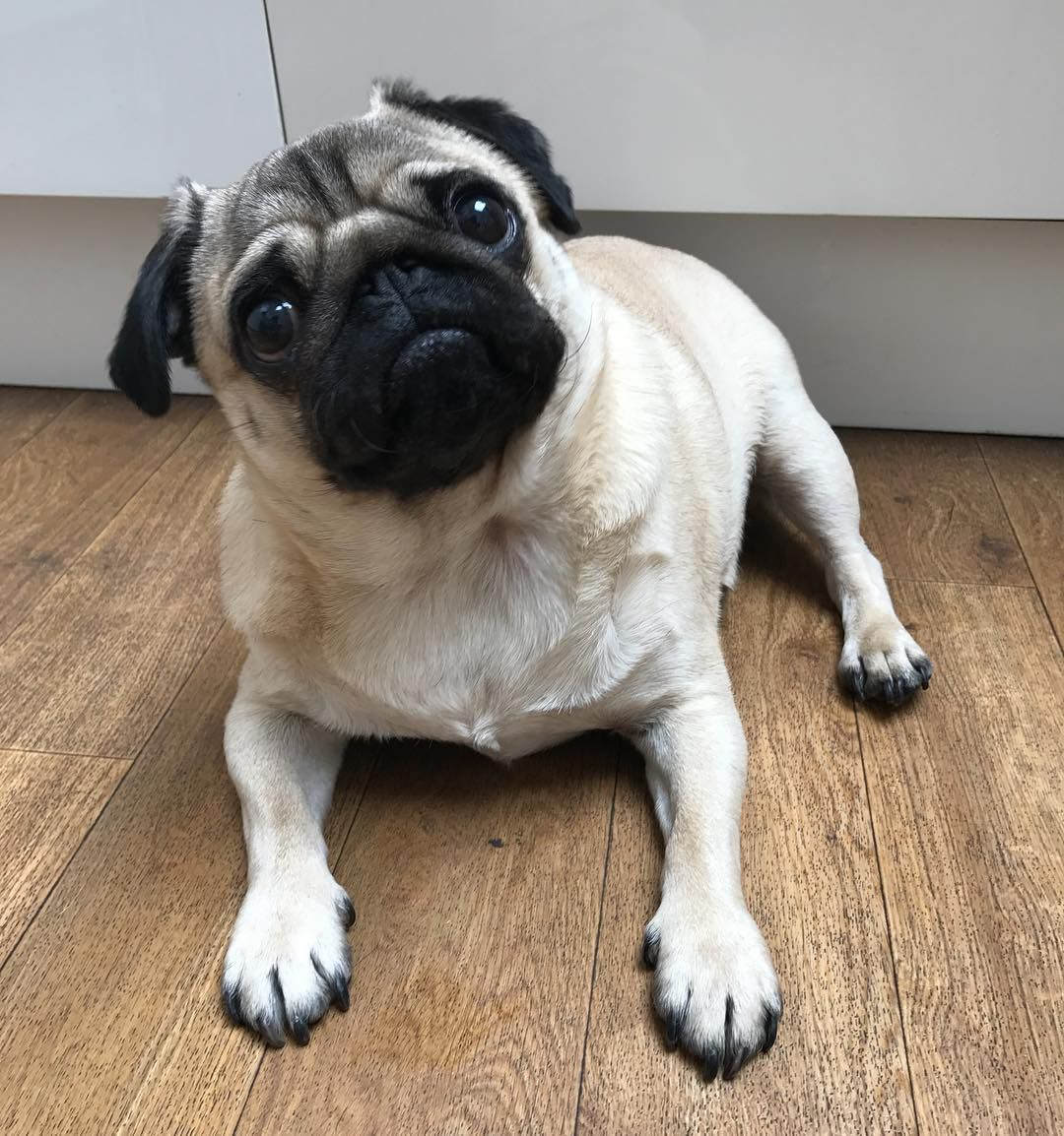 When you're on day 1 of the new diet but someone suggests pizza  #puglife