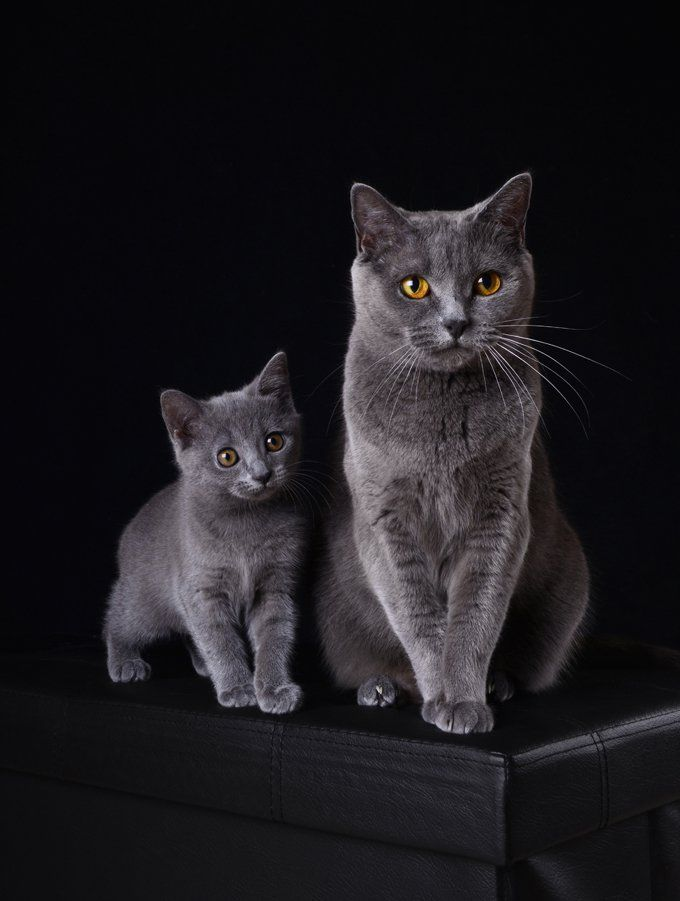 Chartreux Cat Breed Information Pictures Characteristics Facts Chartreux Cat Cat Breeds Kitten Pictures