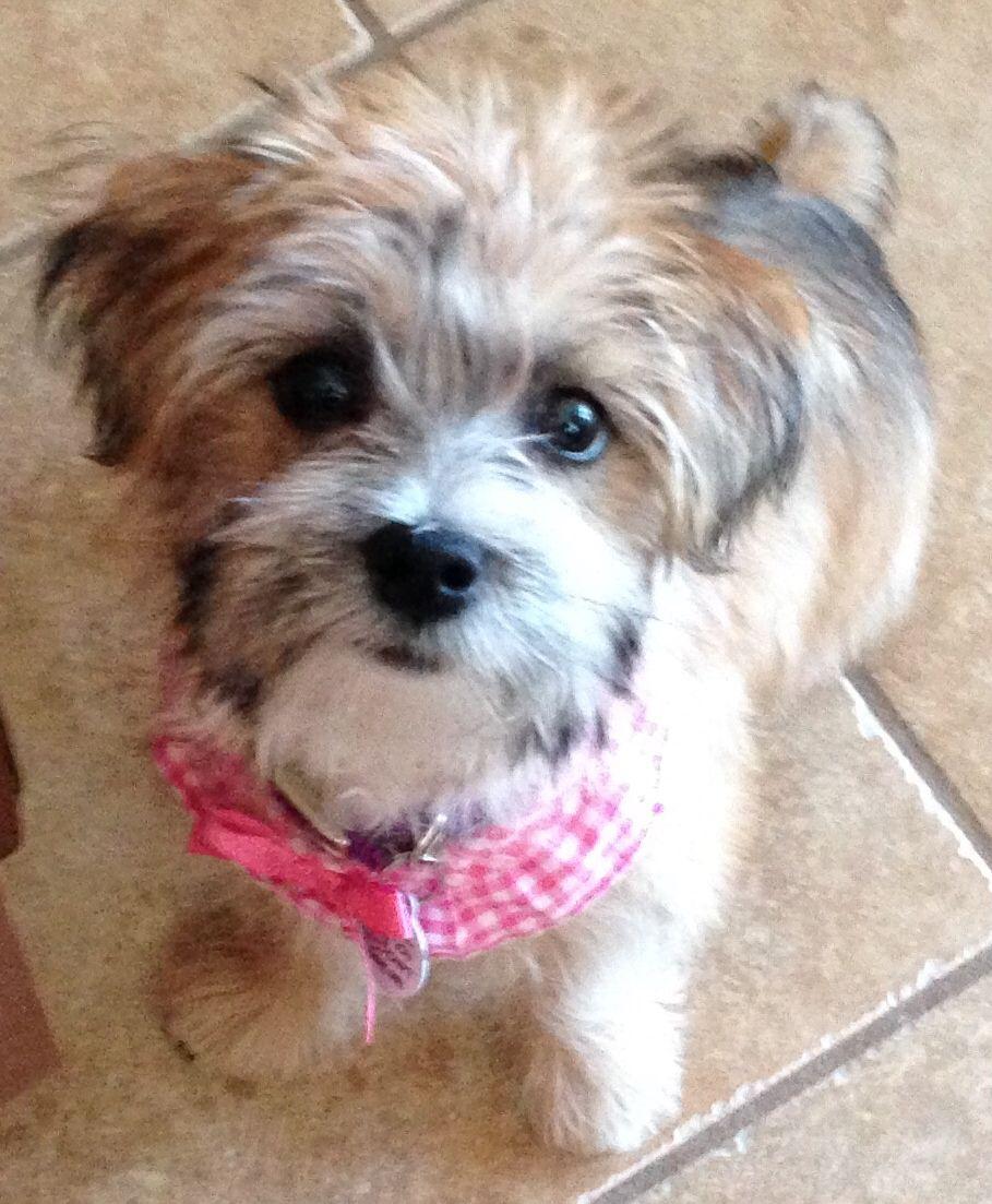 Buy Morkie Puppies In Alaska USA