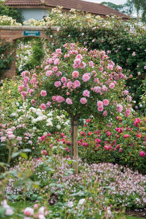 Standard Roses Planting Roses Rose Companion Plants Rose Trees