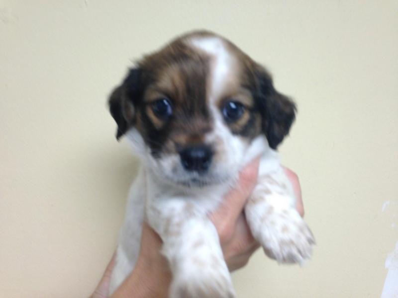Adopt Dixie On Petfinder Shih Tzu Dog Beagle Mix Dogs