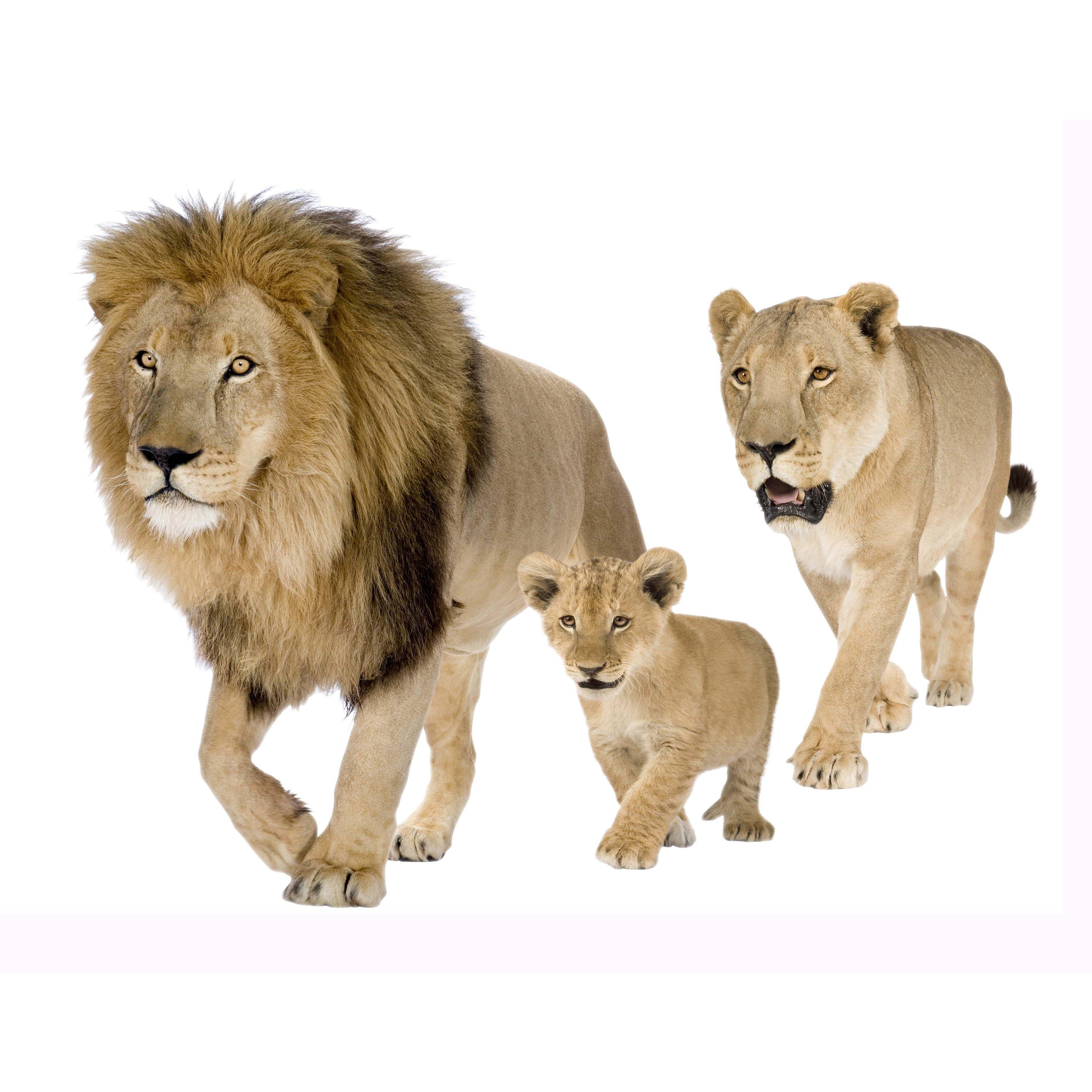 Leeuwenfamilie, 2 formaten - Dieren - Muurstickers | Klein&Fijn.nl