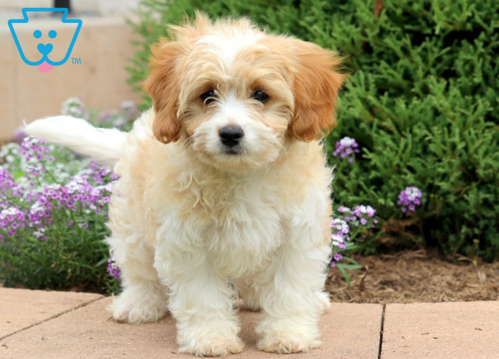 Gus Cavachon Puppy For Sale Keystone Puppies Cavachon Puppies Newborn Puppies Cavachon