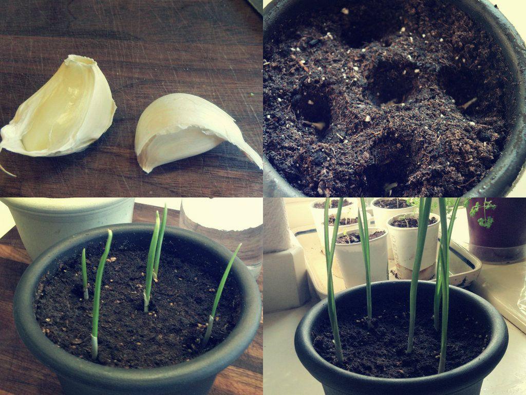 Uma das melhores plantas para cultivar em casa alho for Apartamentos baratos en sevilla por dias