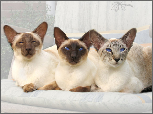 Distinguished Siamese Trio Siok Siamese Cats Blue Point Cats Siamese Cats