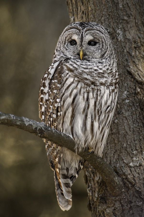 We often see barred owls at dusk and dawn in the winter