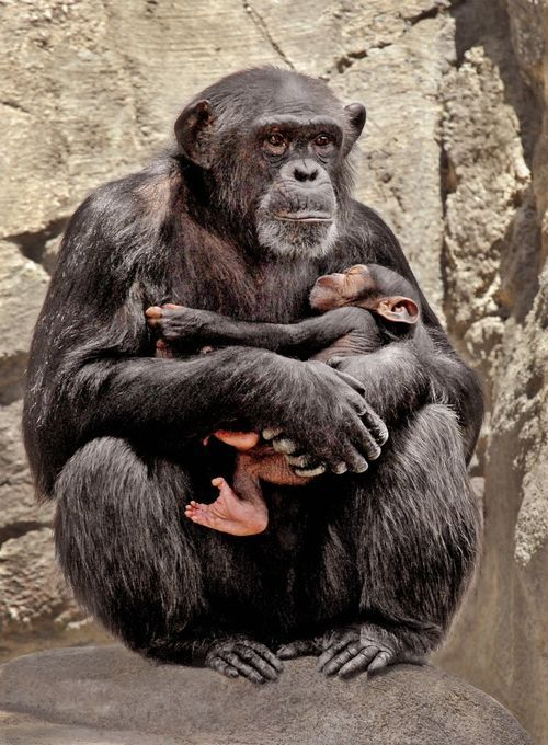 New Baby Chimp For Los Angeles Zoo Baby Chimpanzee Chimp Chimpanzee