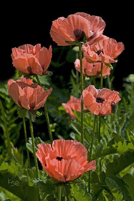 Oriental Poppies By Krys Bailey Perenial Flower Care Pinterest